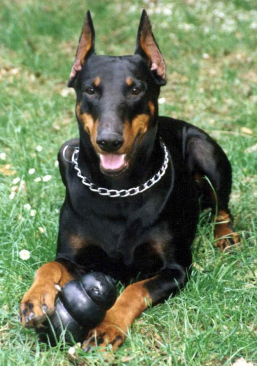 Doberman-Pinscher-dogs