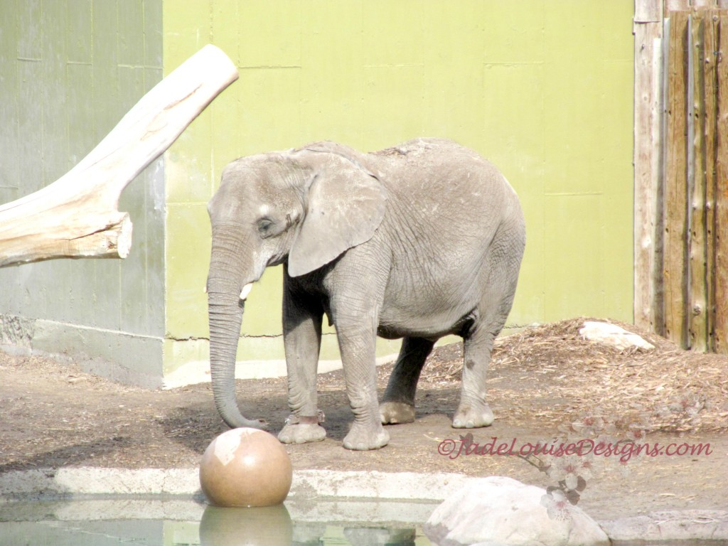 Elephants in Hogle Zoo