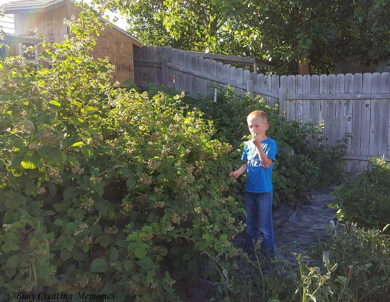 harvesting those raspberries!